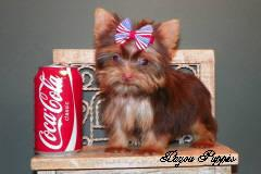 Chocolate Yorkie Female(Risa)