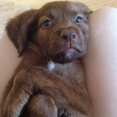 Chocolate Lab/Brittany Spaniel Mix in Philadelphia, Pennsylvania For
