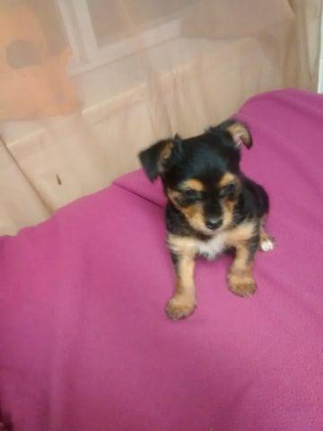 Chorkie Chihuahua Yorkie Cross For Sale In Griggsville Illinois