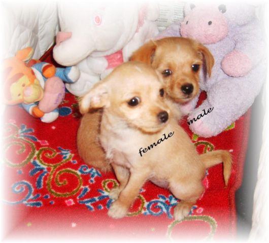 ~Chorkie.poo puppies~