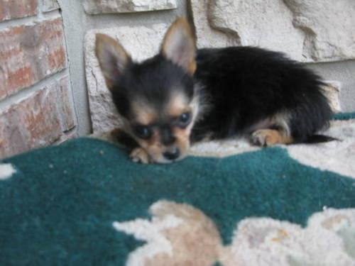 ... for sale in mo in dam puppies shoes toys and puppiesakc chihuahuas