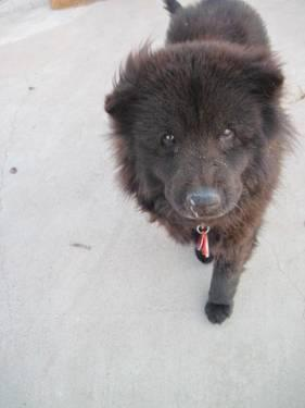 Chow Chow Benny Medium Young Male Dog For Sale In Navajo