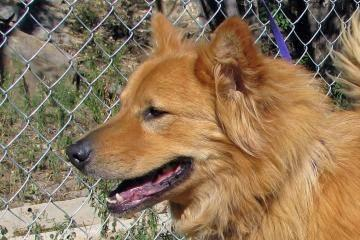 Chow Chow - Contessa - Medium - Adult - Female - Dog for Sale in Alto ...