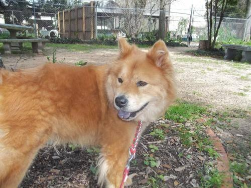Chow Chow - Patsy - Large - Baby - Female - Dog