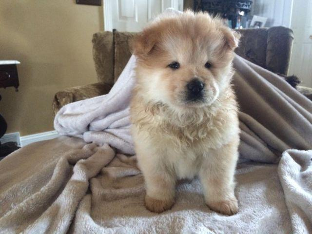 Chow Chow Puppies For Sale In Ohio Classifieds Buy And Sell In