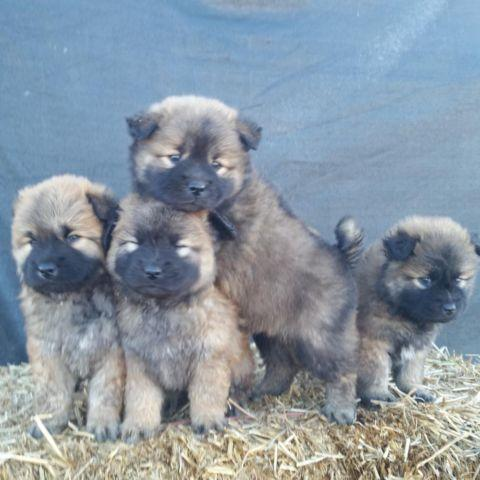 **** CHOW CHOW PUPPIES ****