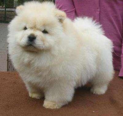 Chow Chow Puppies Available For Sale In Jacksonville Florida