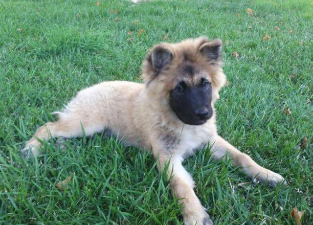 CHOW CHOW PUPPY *** for Sale in San Diego, California