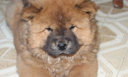 Chow Chow Puppy for Sale - Adoption, Rescue