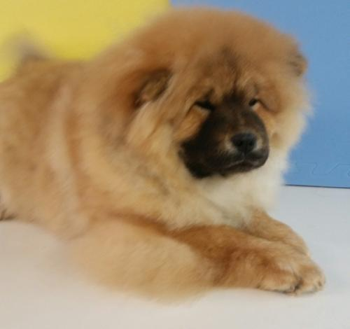 Chow Chow Puppy For Sale Adoption Rescue For Sale In Great Falls