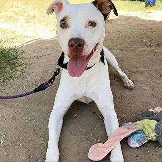 Chowder Pit Bull Terrier Adult Male