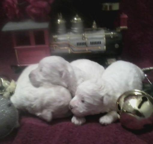 christmas angels white precious maltipoos - Christmas Angels For Sale