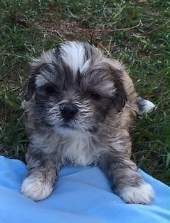 Christmas Cuties Shih Tzu Puppies For Sale