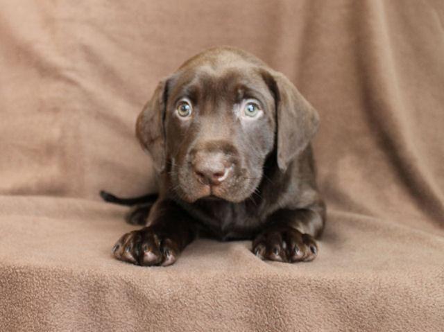 Chocolate Lab Puppies For Christmas Female Male Labrador Retriever ...