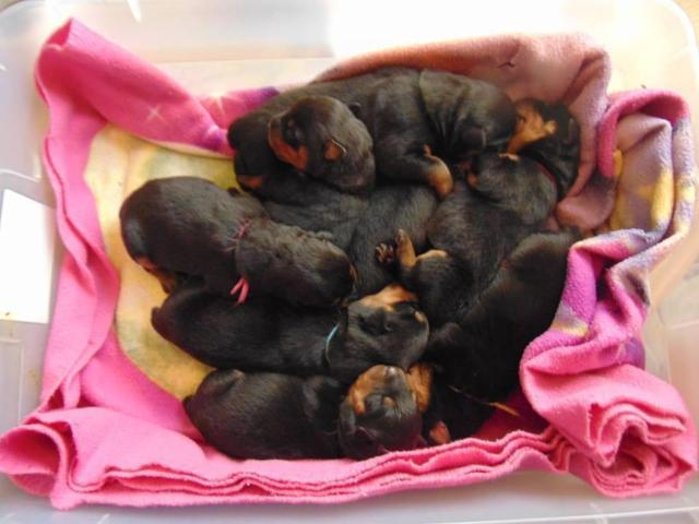 Christmas Rottweiler puppies Reserve NOW !