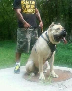 Cane corso north carolina