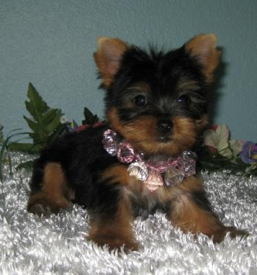 Christmas Teacup Yorkie Puppies Ready For Adoption 832937 8464