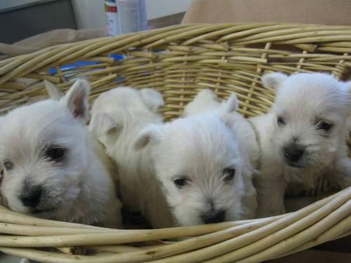 Christmas Westie Puppies, AKC