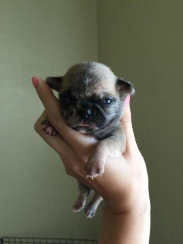 pug for sale seattle chug puppies akc pug x akc chihuahua for sale in seattle 8607