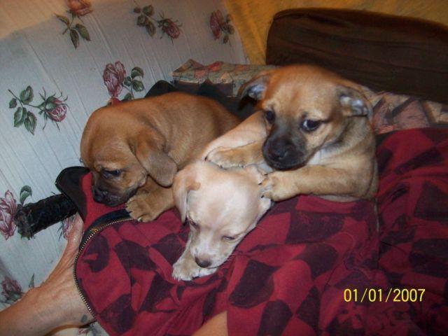 Chug Puppies