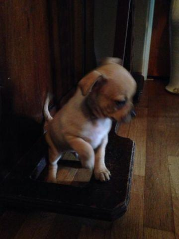Pug Chihuahua Mix Puppies for Sale