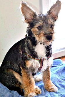 Chunk Terrier (Unknown Type, Small) Puppy Male