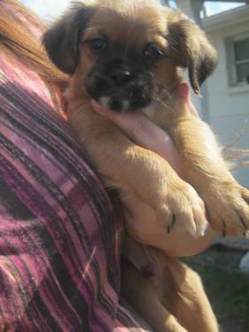 Chussels puppies Chihuahua and Brussels Griffon Mix