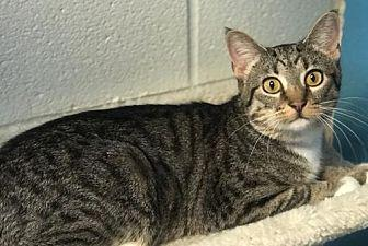Cindy Domestic Shorthair Young Female