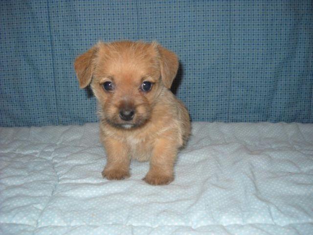 Cindy Female Jack - A - Apso Puppy for Sale in Arlington, Minnesota ...