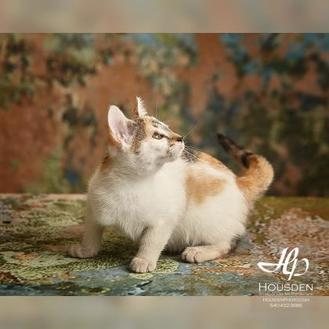 Cindy Lou Mew Domestic Shorthair Kitten Female