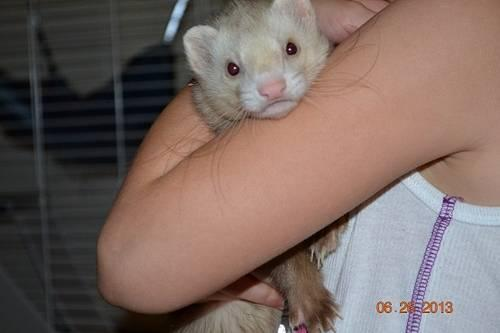 Cinnamon & white Ferret