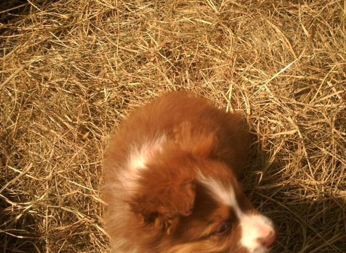 CKC Australian Shepherd puppies tri male