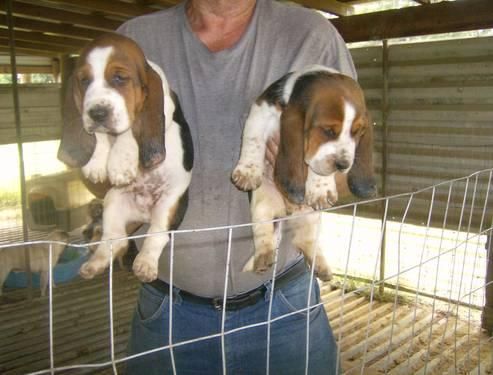 ckc basset Hounds Puppies