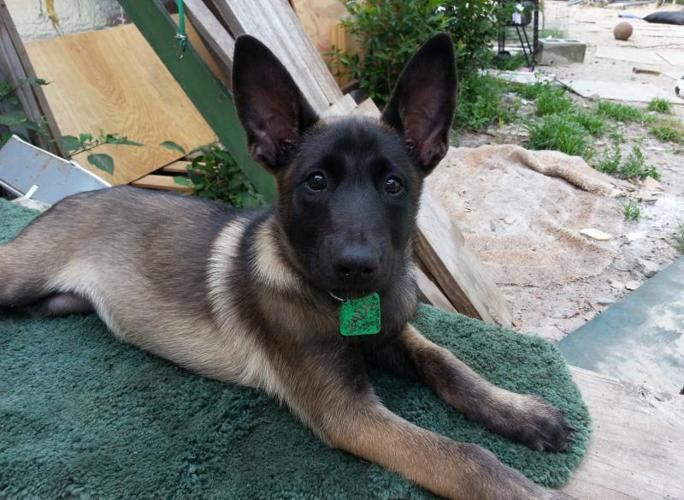 CKC Belgian Malinois Shepherd 9 wks Williston FL
