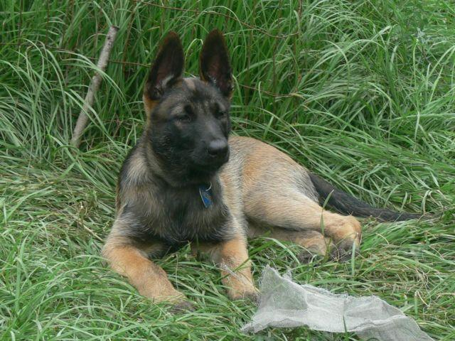 CKC Belgian Malinois Shepherd Female 10 wks Williston
