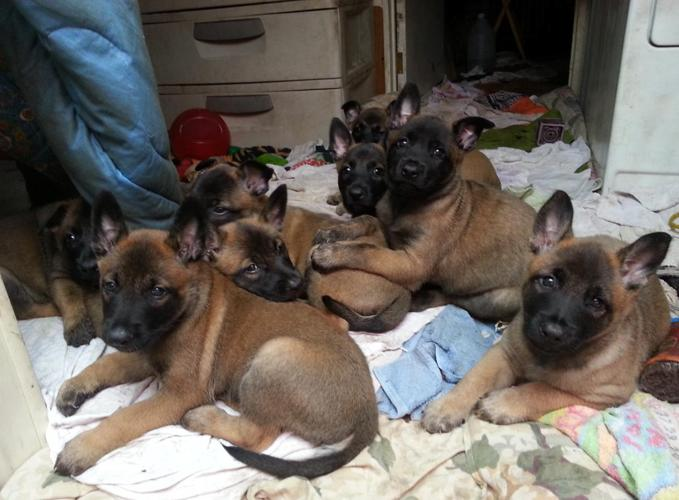 CKC Belgian Malinois Shepherd Puppies Williston FL