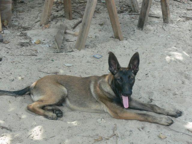 CKC Belgian Malinois Shepherd THOR Male 4 mo Williston