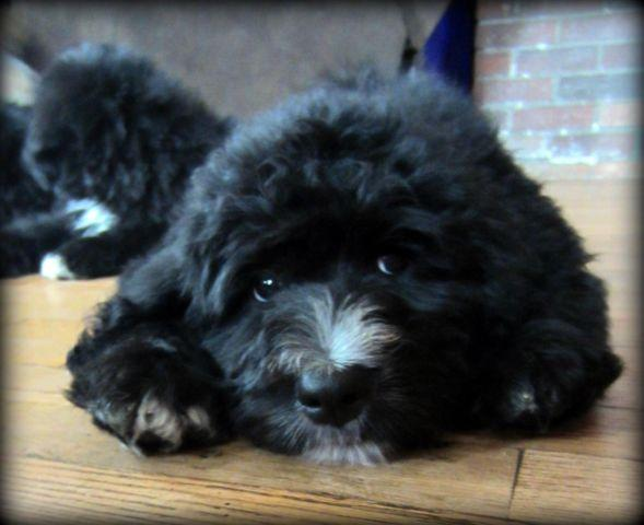 Ckc Bernedoodle Puppies For Sale In Hillsdale Michigan