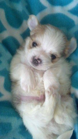 Ckc Biewer Yorkie Puppies 1 Is Rare Golddust For Sale In Casar