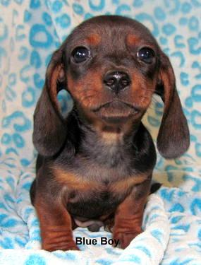 Blue Dachshund Pets And Animals For Sale In Georgia Puppy And