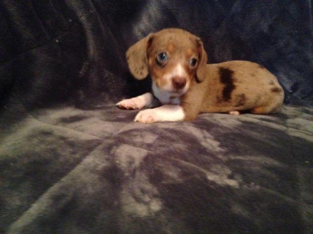 CKC Blue Dapple Piebald Miniature Dachshund Puppy  Taking Deposits