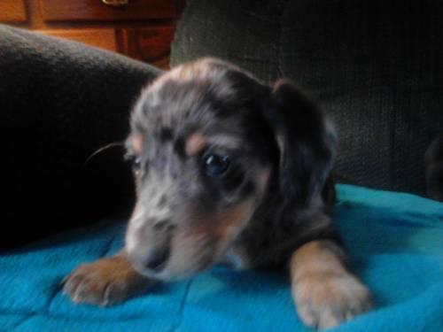CKC blue eyed dapple dachshund male for Sale in Fountain ...