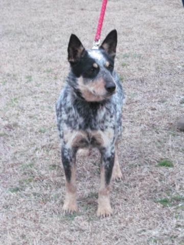 CKC Blue Heelers (maybe Red)