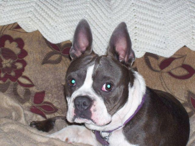 blue boston terrier for sale ckc boston terrier blue male for sale for sale in new 3034