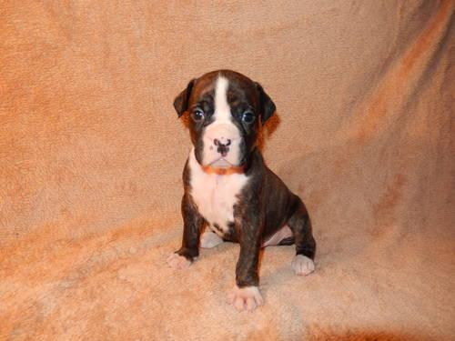 Ckc Boxer Puppy Mr Miyagi 4 Weeks Old For Sale In Delacroix