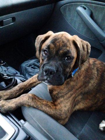 Ckc Brindle Boxer Puppy Americanlisted on Reverse Brindle Boxer For Sale