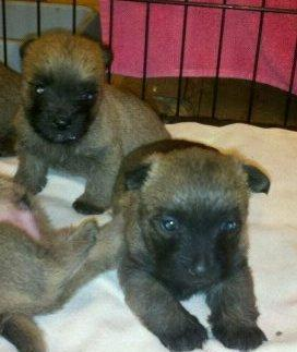CKC CAIRN TERRIER PUPS (Toto Dogs)