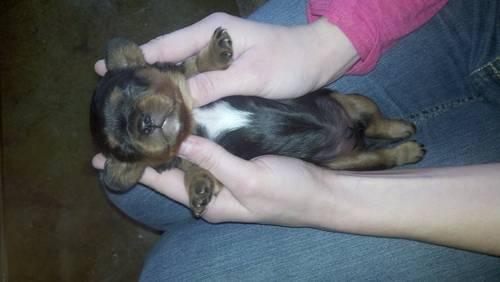 CKC Cavalier pups