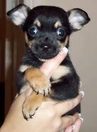 CKC Chihuahua puppies 8 weeks