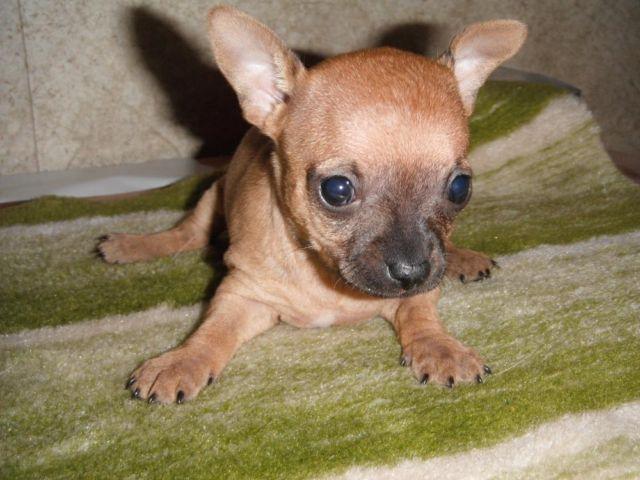 CKC Chihuahua puppies